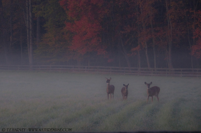 Autumn deer at Frosty Meadows, Clifton, Va.  Was driving to a favorite place to photograph raptors before sunrise when I came across these deer at Frosty Meadows near Clifton, Va. in a dense fog.