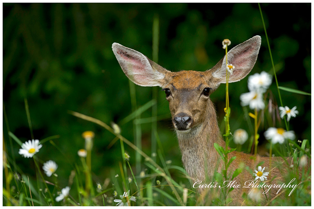 Blacktail doe in the Daisies.