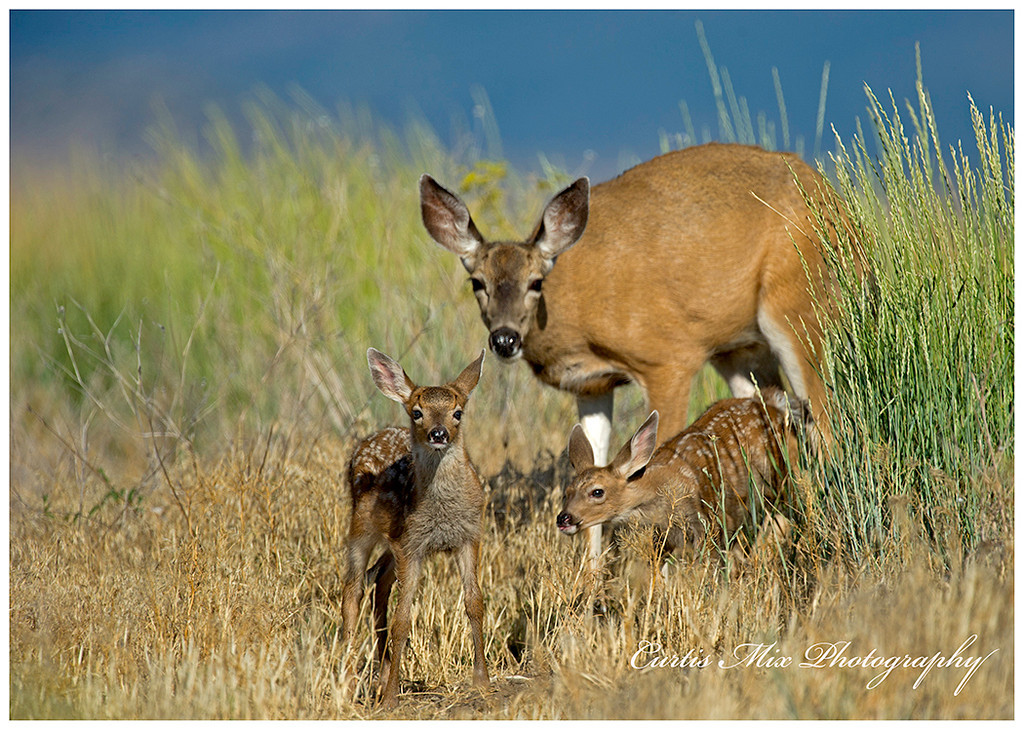 Blacktail doe and fawns.