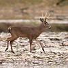 White Tail Deer - Odocoileus virginianus - November 2007