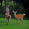 Buck and fawns with an attitude