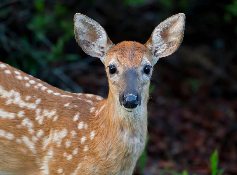 This fawn was seen in the Lower Wekiva Reiver Preserve in June 2013
