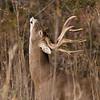 White Tail Deer - Odocoileus virginianus - November 2007