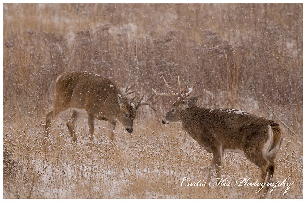 Ready to rumble. The two Whitetail bucks had the most amazing fight.
