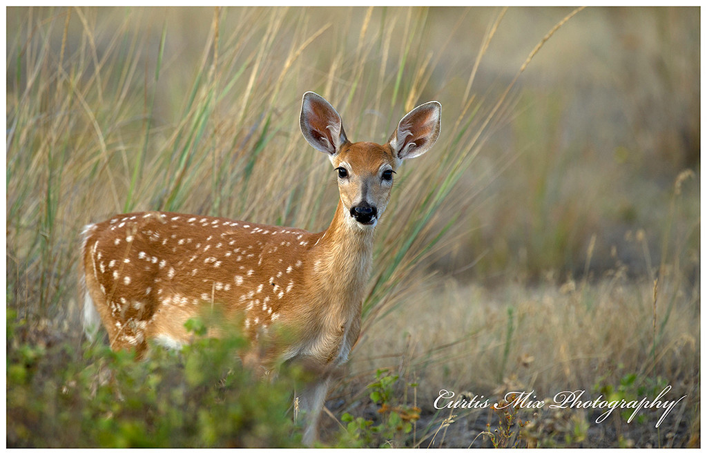 Whitetail Deer fawn.