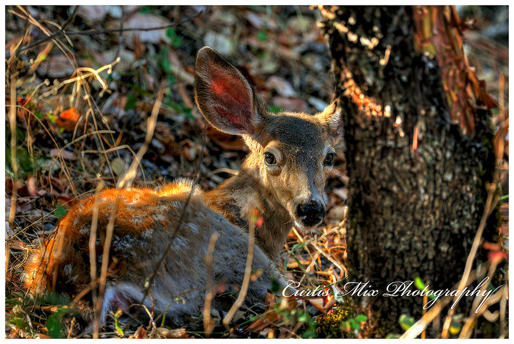 A blacktail deer fawn rests in the woods behind my house.