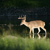 White Tail Deer - August 2006