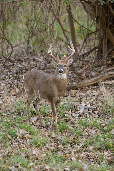 White Tail Deer - Odocoileus virginianus - October 2007