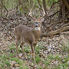 White Tail Deer - Odocoileus virginianus - October 2007