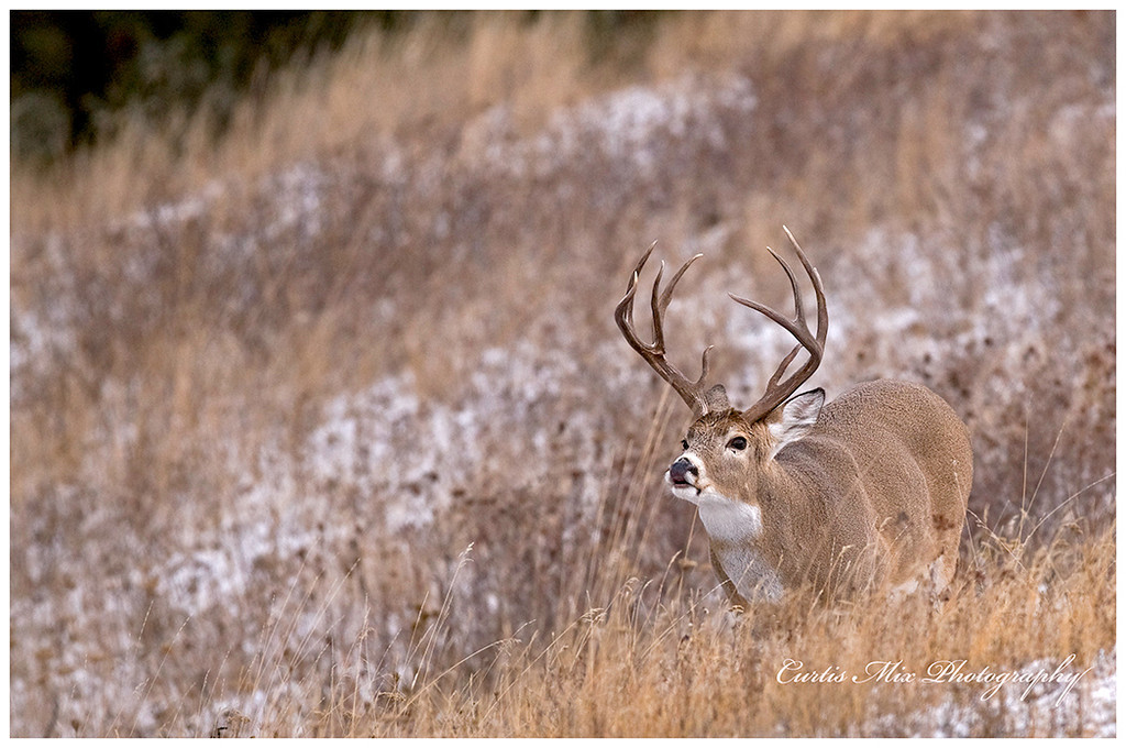 I liked this buck so well I used a second image of it with a little different angle.