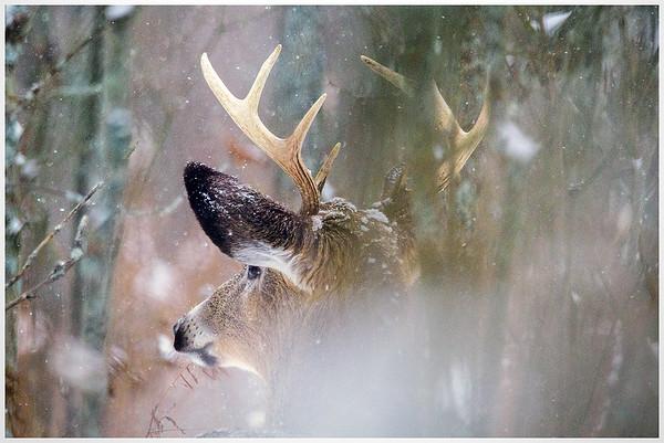 Snowy Buck