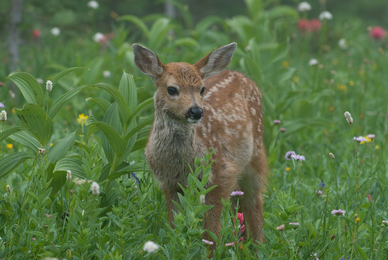 Blacktail Fawn