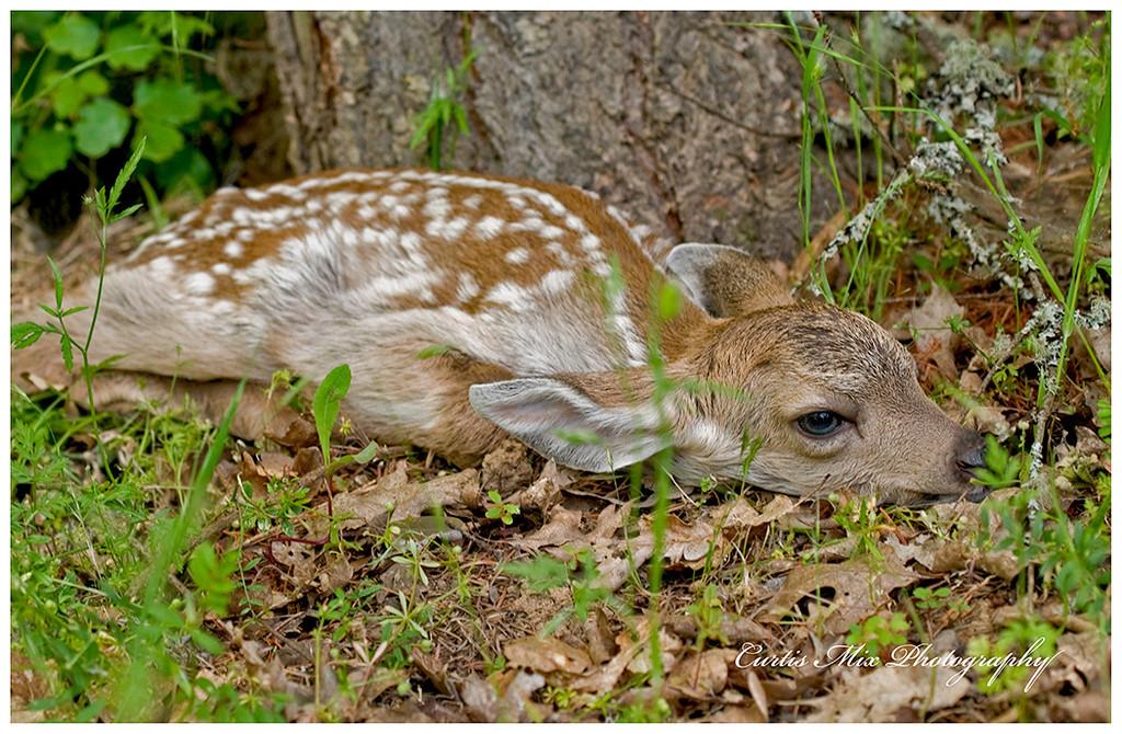 Blacktail deer fawn.