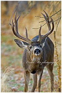 An exceptional blacktail buck as he courts a doe during the rut. Any other time of year you'll never see a buck like that.