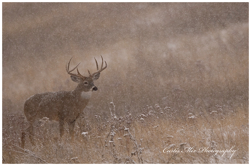 Watching another buck.