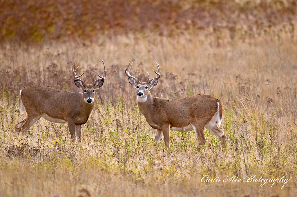 Two Whitetail bucks give me the look.
