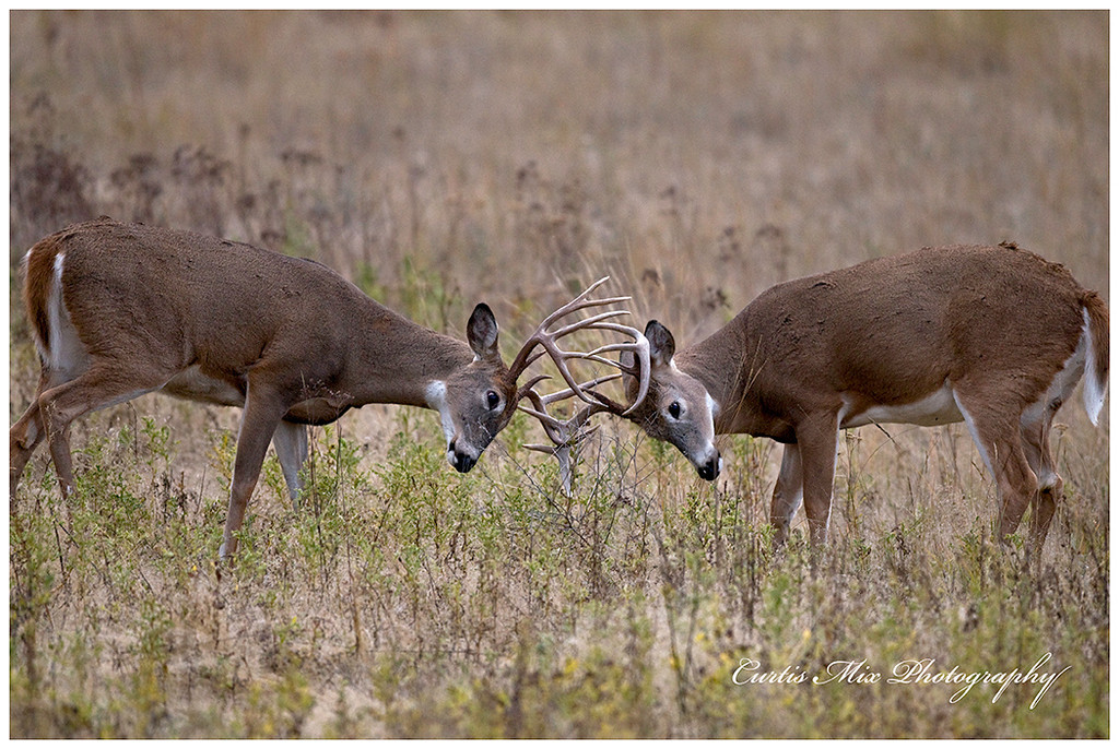 Whitetail sparring.