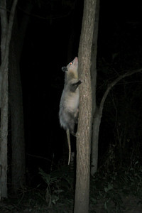 Possum up a tree