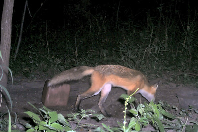 First fox in quite awhile.