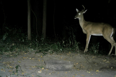Looks like the velvet is gone on this one. Maybe half the rack, too! Maybe this is the drop-tine guy from picture no. 5.