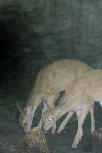 Fawns in the fog