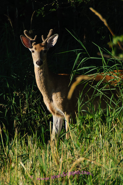 Young Buck at Sunrise