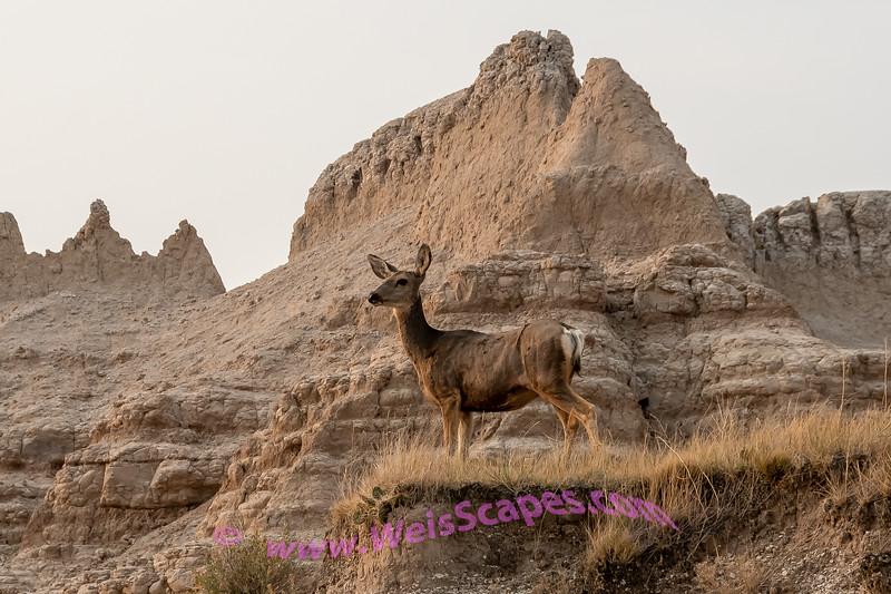 Deer in Badlands
