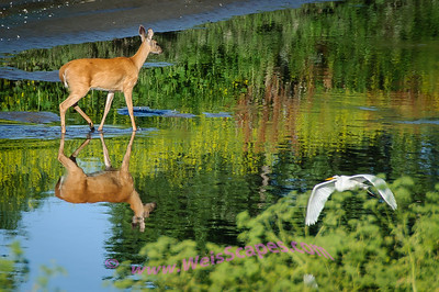 Doe with Egret flyby