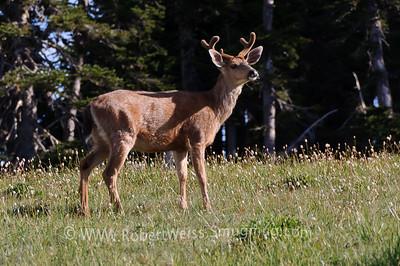 Deer eating breakfast at Hurricane Ridge.