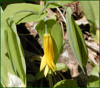 Large Flowered Bellwort Uvularia grandiflora Liliacea family Along the Thunderhead Manway  GSMNP  April 23, 2007