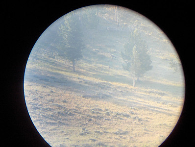 Agate black adolescent wolf on left in circle, gray adolescent with Male 113 on right. Through spotting scope, contributed by Linda Seaman