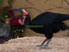 Southern Ground Hornbill Delilah catches food on the fly...