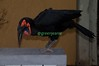 Southern Ground Hornbill Delilah... BACKSTAGE San Diego.