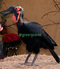 Delilah ~ Southern Ground Hornbill ~ Backstage ~ San Diego Zoo
