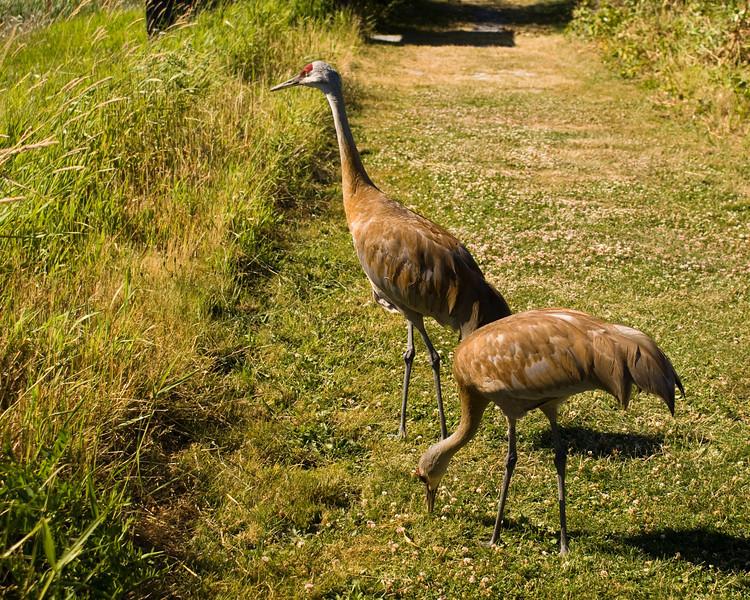 Reifel Bird Sanctuary - Sand Hill Cranes