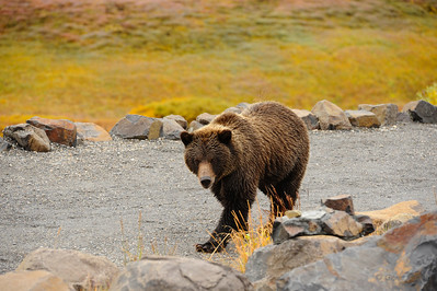 Grizzly walking through Eielson visitor center parking lot.