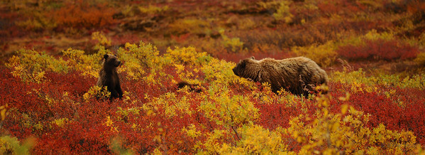 A grizzly sow and cub exchange looks while a second cub lays in the Autumn foilage in Denali National Park.