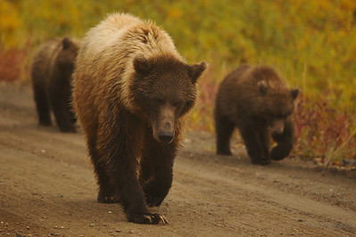 Grizzly sow and cubs walk along the Denali Park road.
