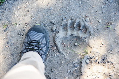 Grizzly track next to a size 9 boot.  With all the pine needles in the print, safe to say the bear has been gone a while.