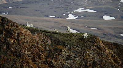 A Family of Dall Sheep on Polychrome Mountain
