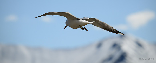 Mew Gull at Eielson Visitor Center