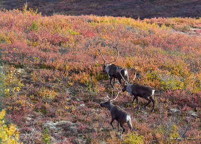 Bull Caribou, Denali National Park