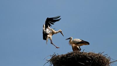Junge Weißstörche (Ciconia ciconia), Rheinauen am mittleren Oberrhein bei Elchesheim-Illingen, Deutschland Young White Stork in Flight, Germany - mehr dazu im Blog: Flugpremiere der Jungstörche   - mehr dazu im Blog: Der Rhein von oben - Dreharbeiten