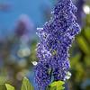 California Lilac - Ceanothus 'Sierra Blue'