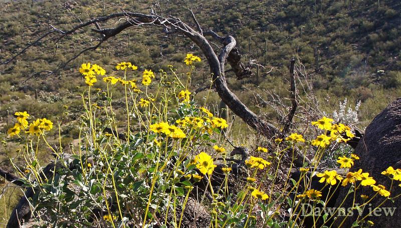 Desert Marigolds in February 2012, Tucson Arizona