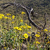 Desert Marigolds in February 2012, Tucson Arizona