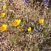 Poppies in February 2012, Tucson Arizona