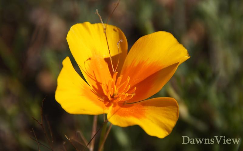 Poppies in February 2012, Tucson Arizona