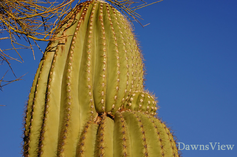 Saguaro appears to have had a baby, Feb 2011