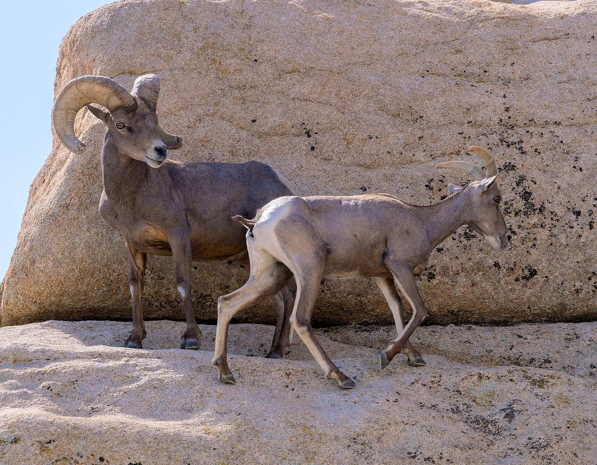 The lead ewe passes the dominant ram.